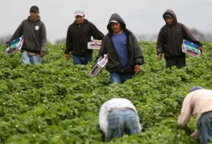 Black Americans Angry Mexicans Hired as Farm-Hands More Often Than Blacks