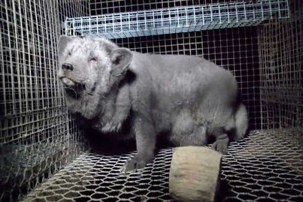 PROD-fur-farm-investigation3